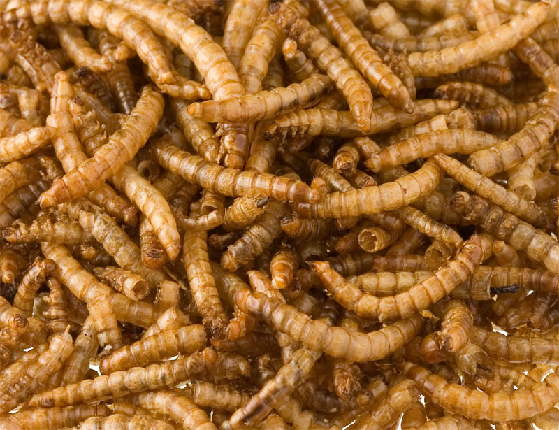 Mealworms (MD)