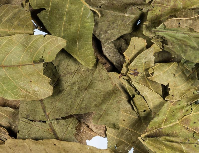 Walnussblätter