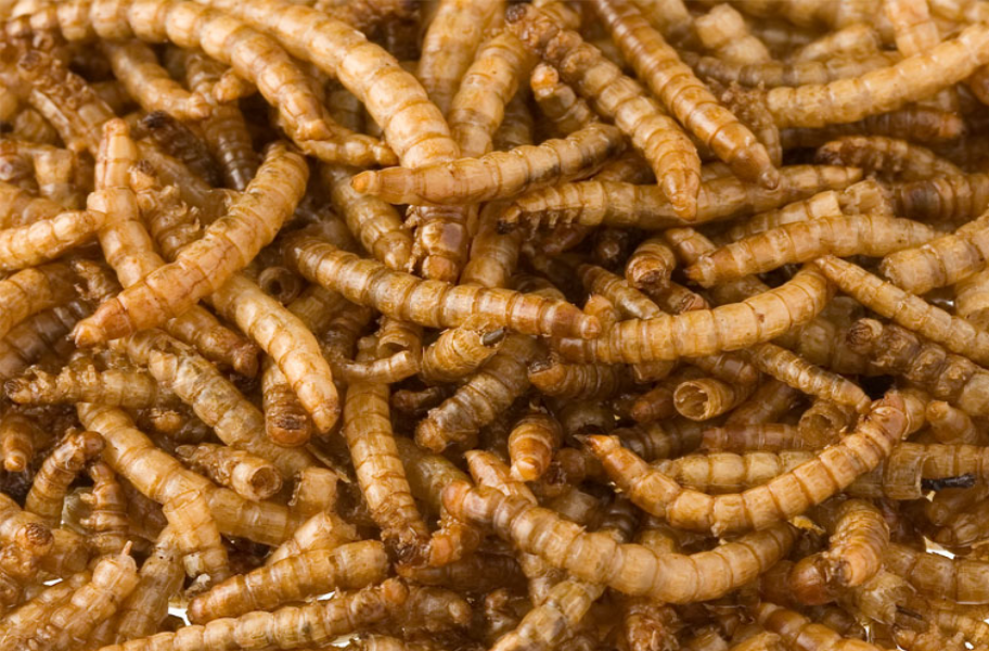 Wholesale dried insects