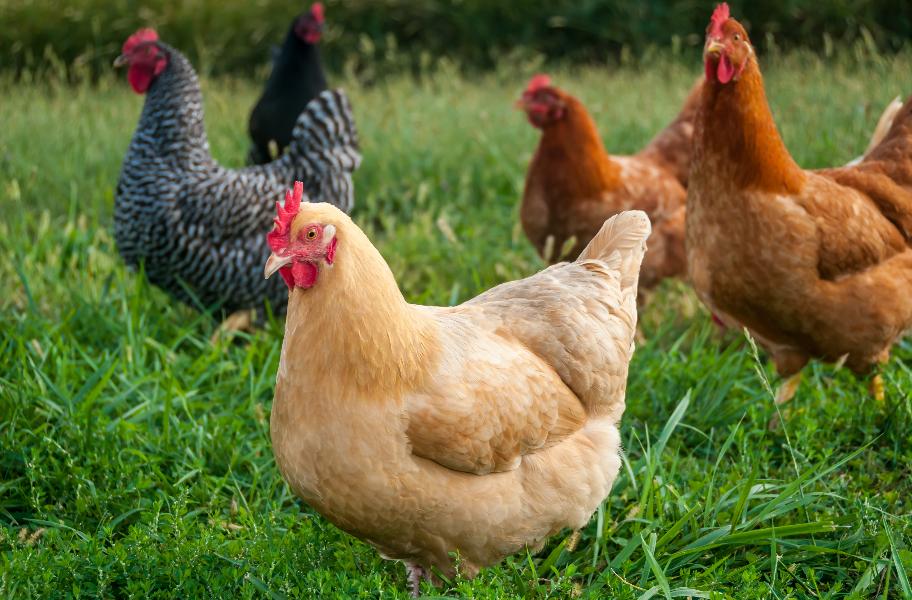 Hühnerfutter Großhandel